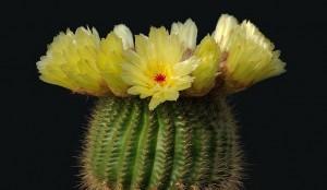 Consejos para que un cactus florezca floristerias Zaragoza