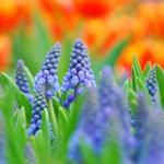 muscari floristerias zaragoza 1