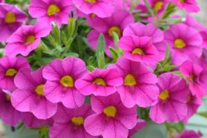 petunias floristerias Zaragoza