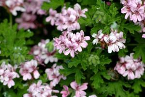 plantas que ahuyentan a los insectos floristerias Zaragoza