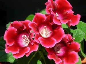 Cuidados de la gloxinia floristerias Zaragoza