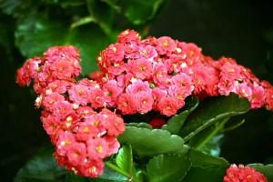 Kalanchoe floristerias Zaragoza