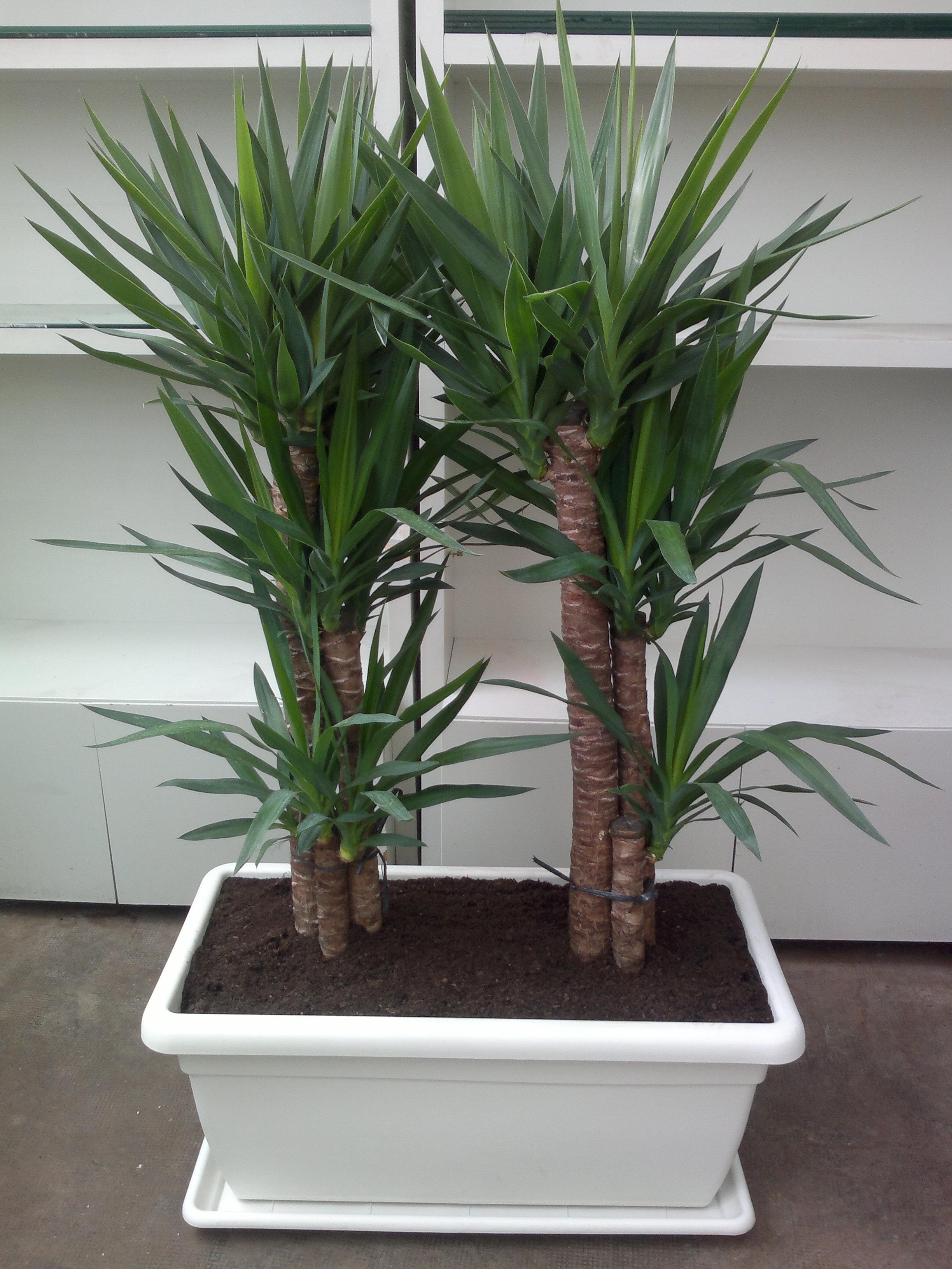 Yucca de interior florister a la mazeta zaragoza - Plantas para el exterior ...