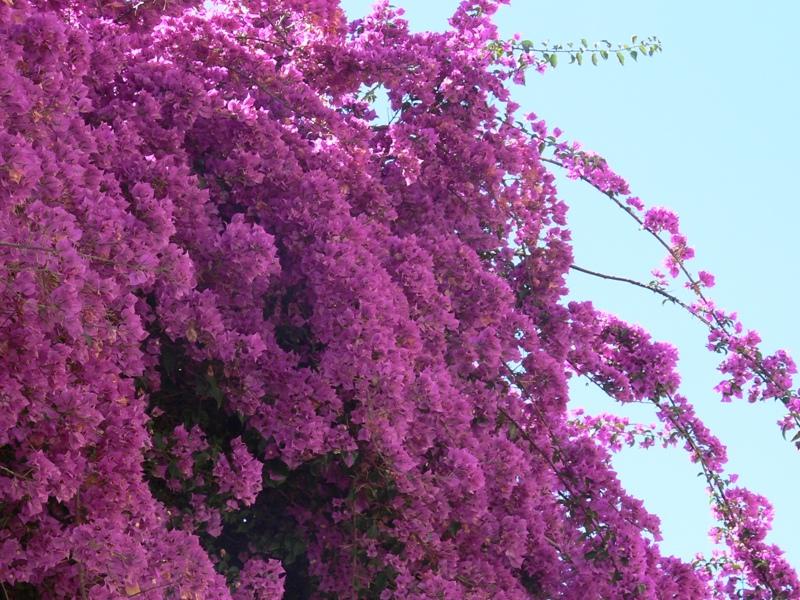 Trepadoras para jadines florister a la mazeta zaragoza for Plantas trepadoras de jardin