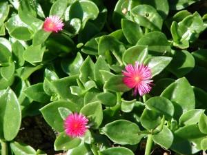 Aptenia_cordifolia floristerias zaragoza