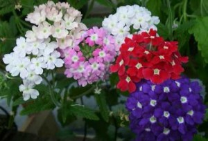 Verbena hibrida 2 floristerias zaragoza