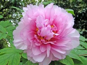peonia floristerias zaragoza