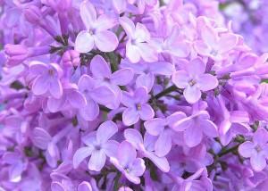 lilas floristerias zaragoza