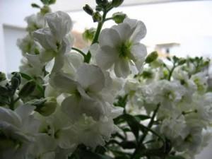 alheli de invierno floristerias zaragoza