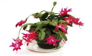 El cactus-navidad floristerias zaragoza