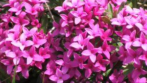 torvisco-de-los-pirineos floristerias zaragoza