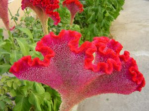 cresta de gallo floristerias zaragoza