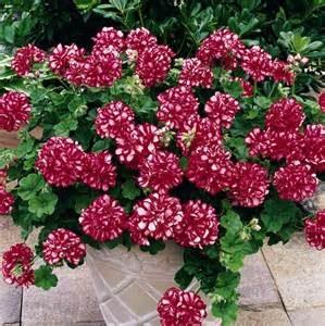 geranio-hiedra floristerias zaragoza