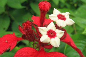 Mussaenda Erythrophylla-floristerias zaragoza