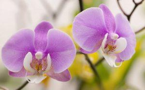 orquidea-Phalaenopsis floristerias zaragoza