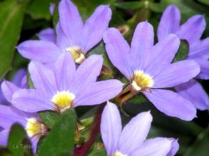 escaevola floristerias zaragoza