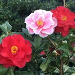 Camellia Japónica floristerias zaragoza.