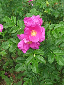 Rosa rugosa floristerias zaragoza