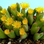 Conophytum floristerias zaragoza