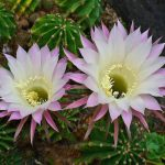 Echinopsis oxygona floristerias zaragoza.