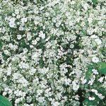Gypsophila floristerias zaragoza
