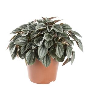 peperomia floristerias zaragoza.