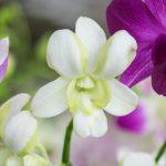 Orquideas dendrobium floristerias zaragoza.