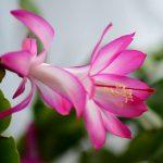cuidados del cactus de Navidad floristerias zaragoza