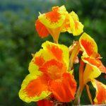 canna o caña de indias floristerias zaragoza