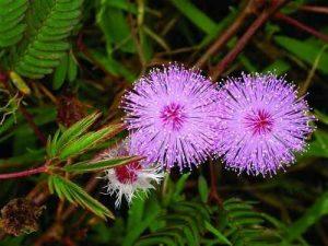 Mimosa pudica floristerias zaragoza