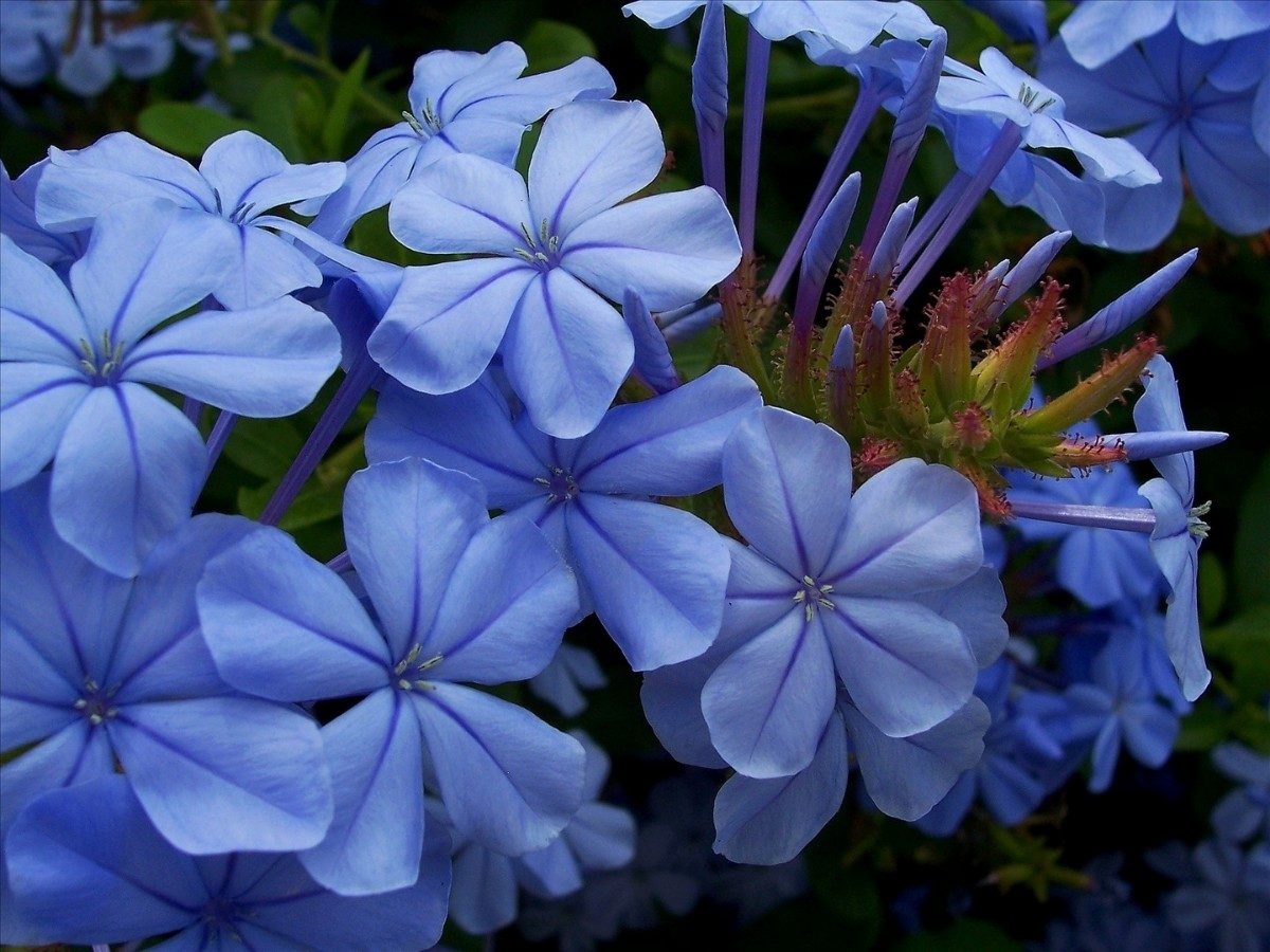 Jazmín azul floristerias zaragoza