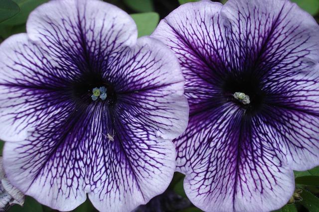 Tiempo de petunias floristerias zaragoza