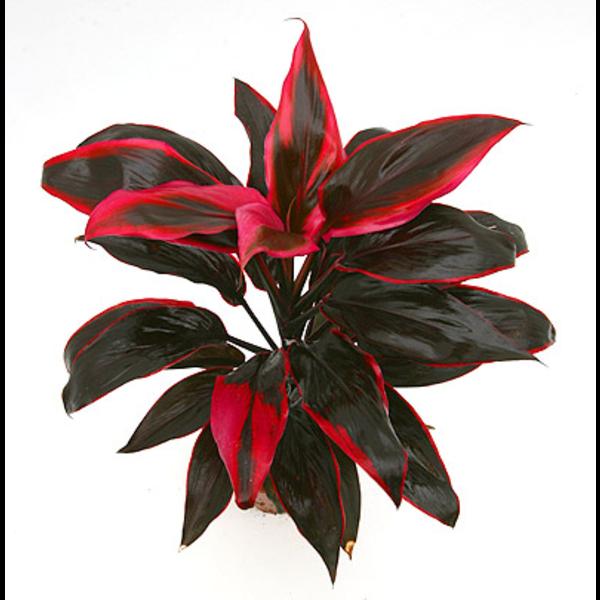 cordyline floristerias zaragoza