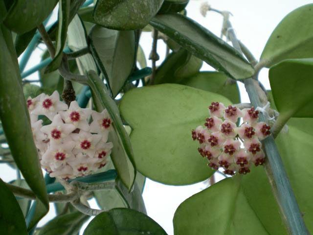 Hoya kerri floristerias zaragoza