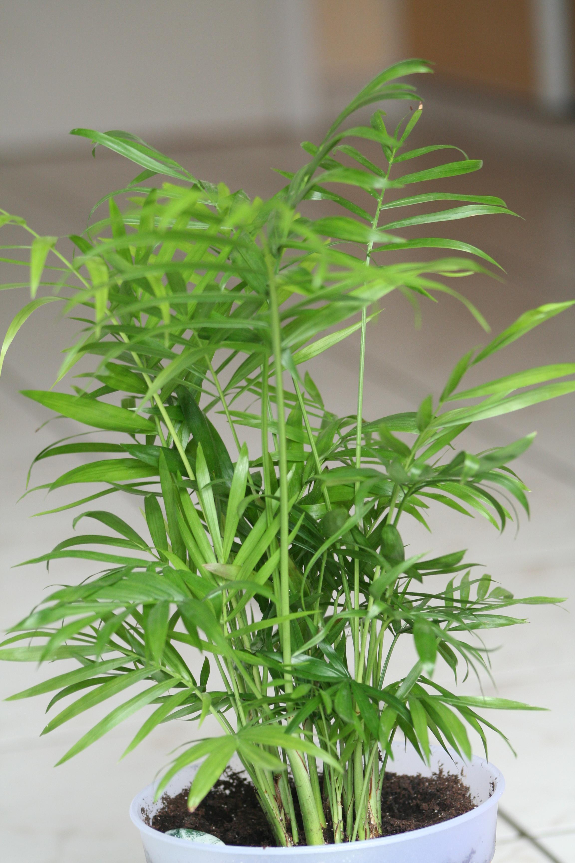 Chamaedorea floristerias zaragoza