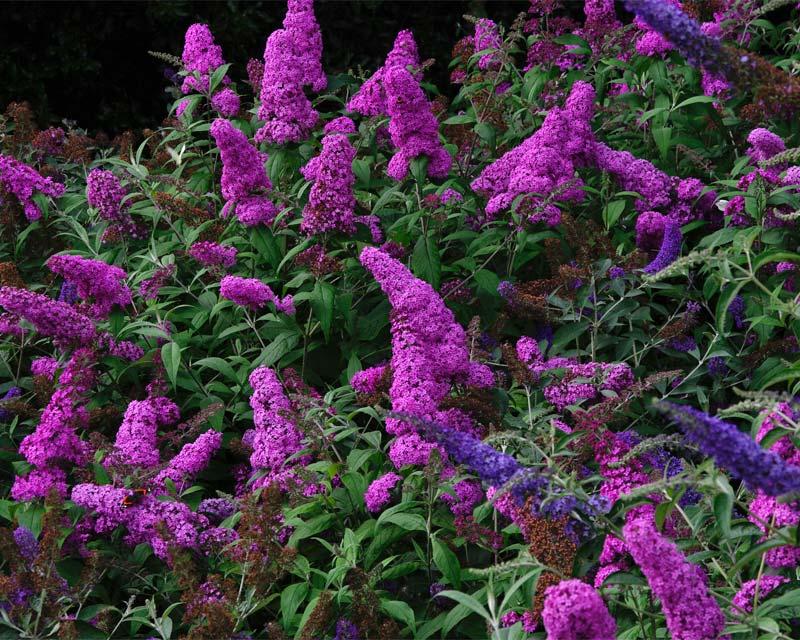 arbusto de las mariposas floristerias en zaragoza