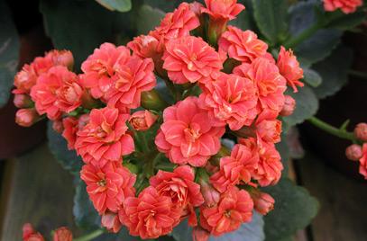 Kalanchoe blossfeldiana floristerias zaragoza