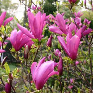 Magnolia susan floristerias zaragoza