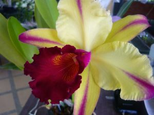 Orquideas Cattleya floristerias zaragoza