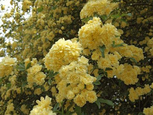 Rosa banksiae floristerias zaragoza