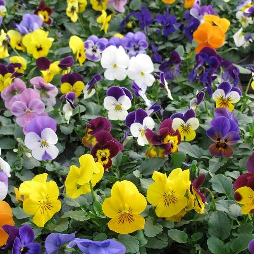 Viola-Cornuta floristerias zaragoza