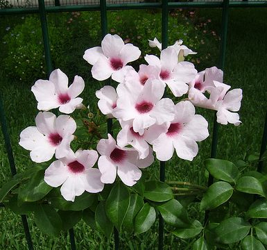 bignonia blanca floristerias zaragoza