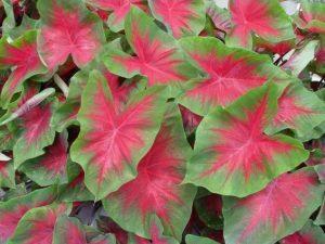 Caladium floristerias zaragoza