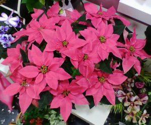 Flor de pascua floristerias Zaragoza