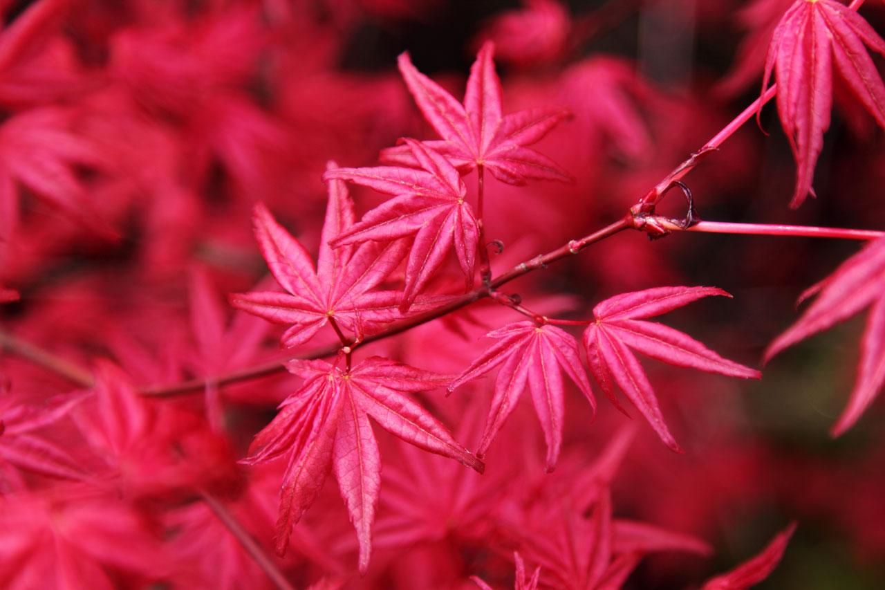 Se debe abonar para que se desarrolle correctamente, durante la primavera también en época de verano, el fertilizante que se use debe ser especial para este tipo de plantas.