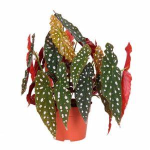 begonia maculata floristerias zaragoza