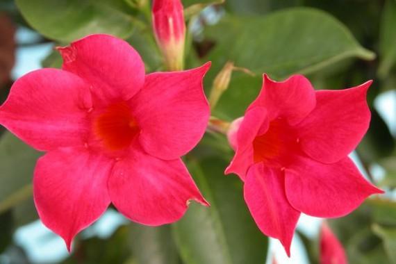 Jazmin de chile floristerias zaragoza