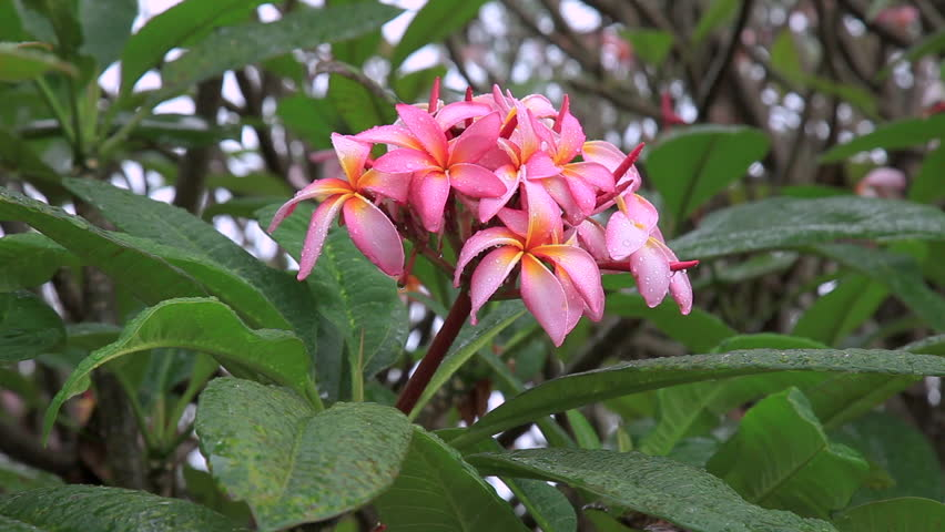 Plumeria rubra floristerias zaragoza