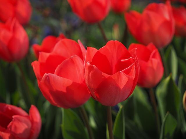 cuidados de los tulipanes floristerias zaragoza