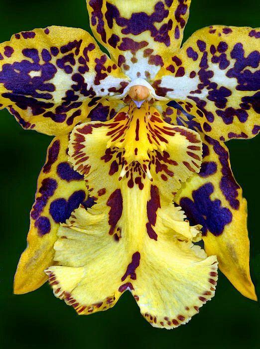 Orquidea tigre floristerias zaragoza